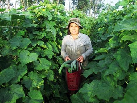 Effektive Modelle aus der Zusammenarbeit zwischen Bauern und Unternehmen der Provinz Quang Nam - ảnh 1