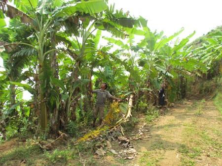 Bauern in Huoi Luong pflanzen Bananenstauden an - ảnh 1