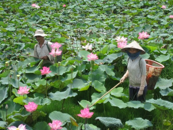 Lotusblumenfest in Dong Thap - ảnh 1