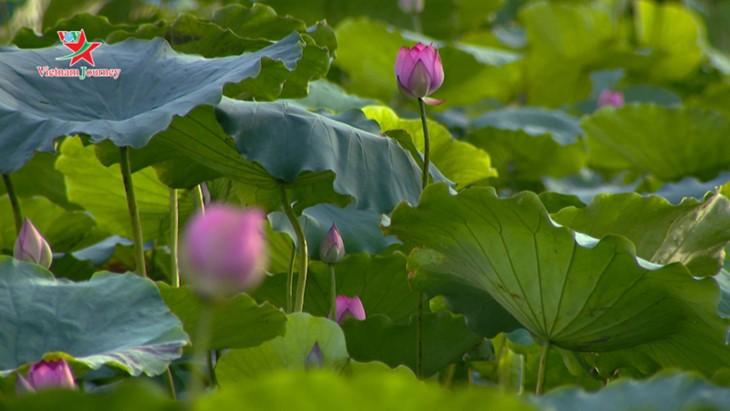 Die Schönheit der Lotusblumen im Sommer in Vietnam genießen - ảnh 4