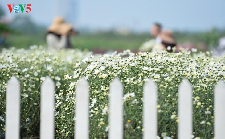 រដូវផ្កាគ្រីសាន (Chrysanthemum) Hoa mi (ហាកមី) រីកនៅទីក្រុងហាណូយ - ảnh 11
