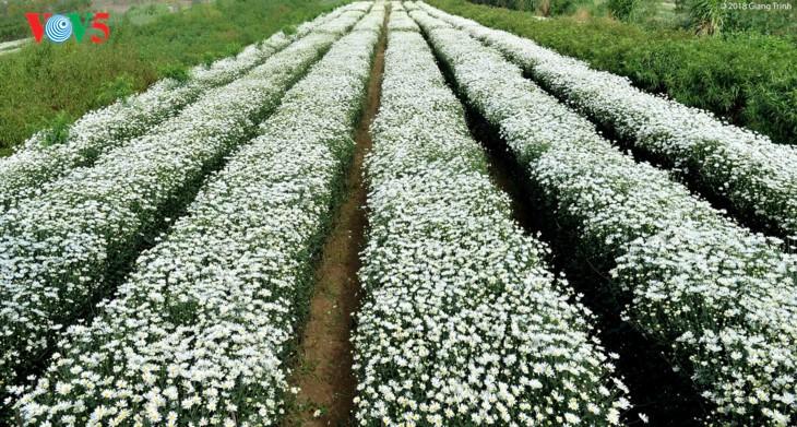 រដូវផ្កាគ្រីសាន (Chrysanthemum) Hoa mi (ហាកមី) រីកនៅទីក្រុងហាណូយ - ảnh 1