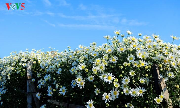 រដូវផ្កាគ្រីសាន (Chrysanthemum) Hoa mi (ហាកមី) រីកនៅទីក្រុងហាណូយ - ảnh 19