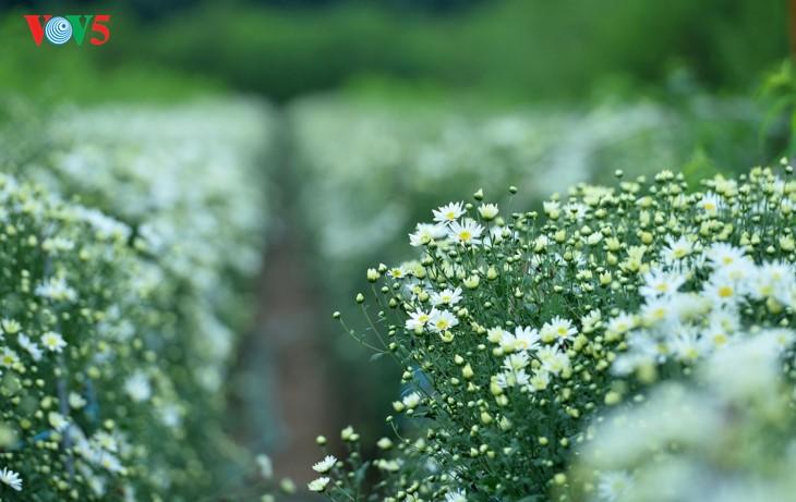 រដូវផ្កាគ្រីសាន (Chrysanthemum) Hoa mi (ហាកមី) រីកនៅទីក្រុងហាណូយ - ảnh 2