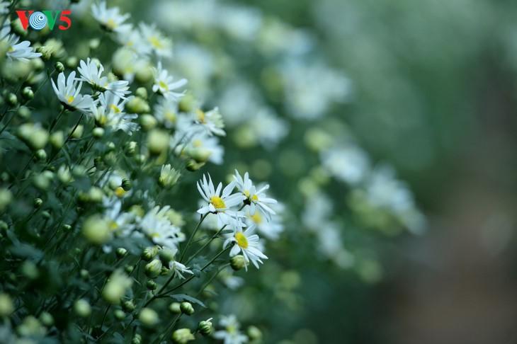 រដូវផ្កាគ្រីសាន (Chrysanthemum) Hoa mi (ហាកមី) រីកនៅទីក្រុងហាណូយ - ảnh 3