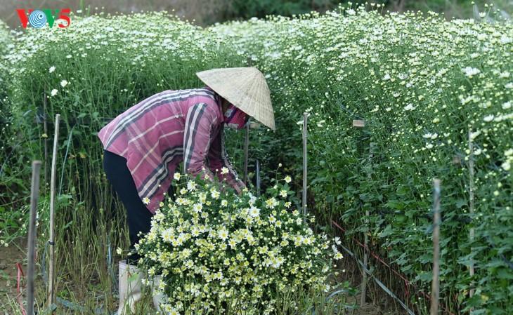 រដូវផ្កាគ្រីសាន (Chrysanthemum) Hoa mi (ហាកមី) រីកនៅទីក្រុងហាណូយ - ảnh 5
