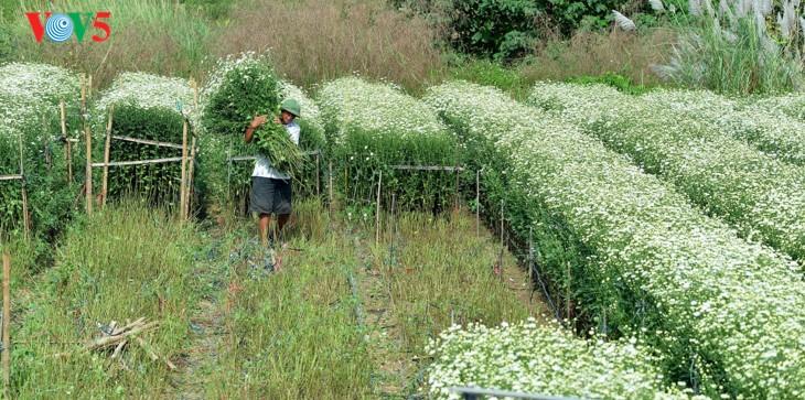 រដូវផ្កាគ្រីសាន (Chrysanthemum) Hoa mi (ហាកមី) រីកនៅទីក្រុងហាណូយ - ảnh 6