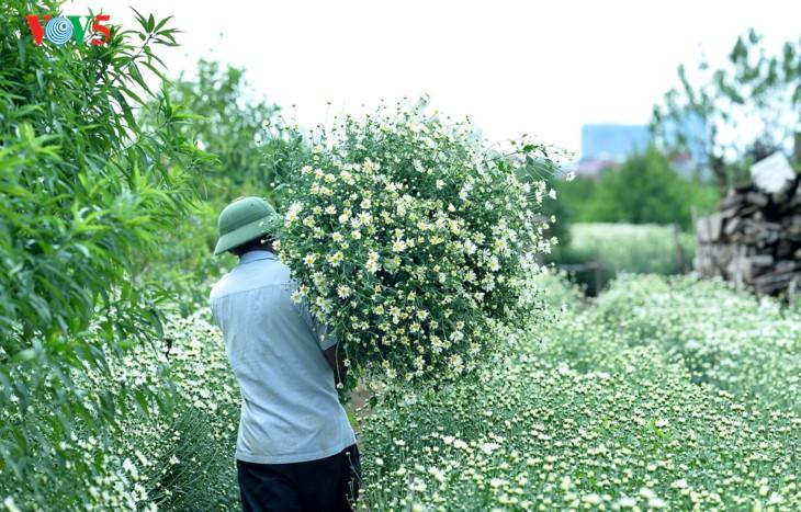 រដូវផ្កាគ្រីសាន (Chrysanthemum) Hoa mi (ហាកមី) រីកនៅទីក្រុងហាណូយ - ảnh 7