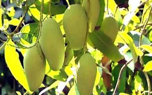 越南芒果即将进入澳大利亚市场 - ảnh 1
