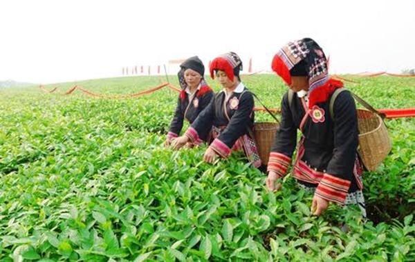 山萝省木州县举行2016年第一次木州高原茶节 - ảnh 1