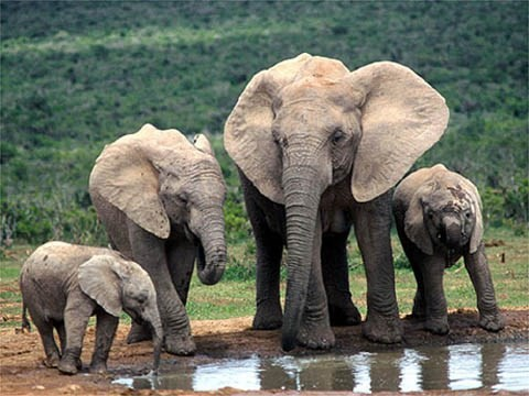 Elephant preservation week launched in Quang Nam  - ảnh 1