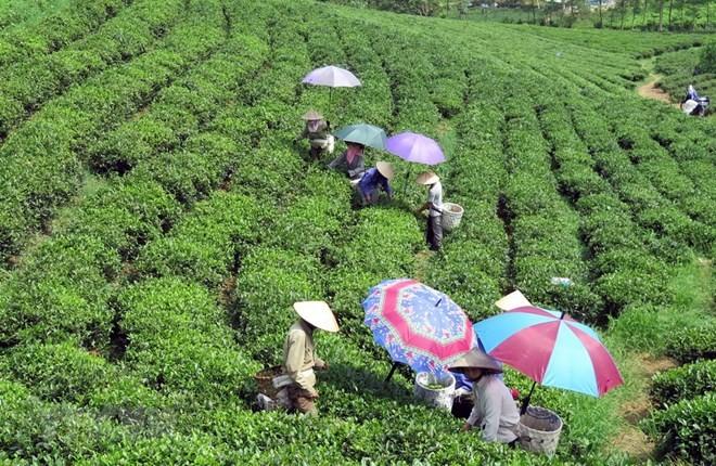 Festival promotes Thai Nguyen's tea products - ảnh 1