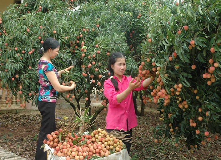 Localities promote litchi trading - ảnh 1
