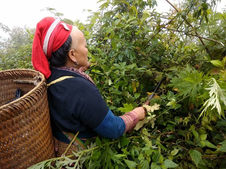 Medicinal herbs of the Dao people - ảnh 1