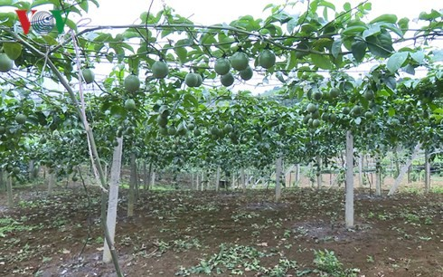 Moc Chau people grow passion fruit for export - ảnh 1