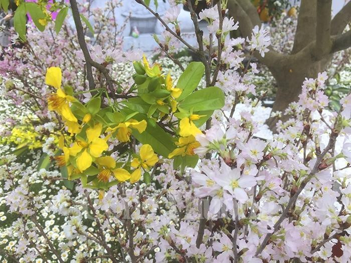 Cherry blossom, yellow ochna flower festival brightens Yen Tu mountain - ảnh 1