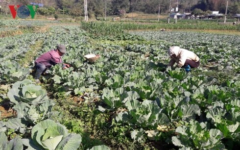 Lai Chau farmers make fortune by specialized agricultural production  - ảnh 1