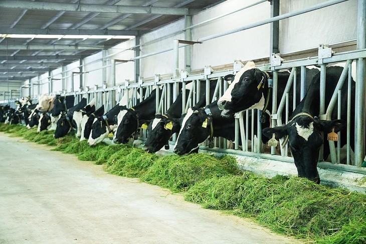 Vinamilk on the way to develop Vietnam's dairy industry - ảnh 2