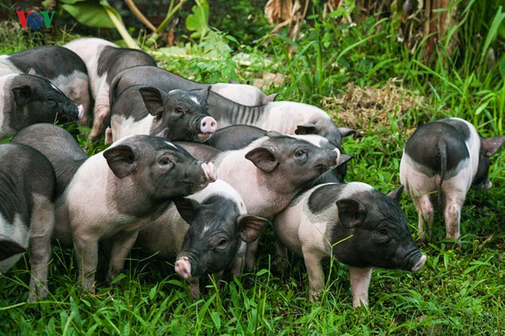 Quang Ninh races against time to protect indigenous pig from African swine fever - ảnh 1