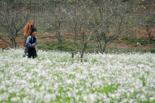 Môc Châu, un plateau fleuri toute l'année - ảnh 4