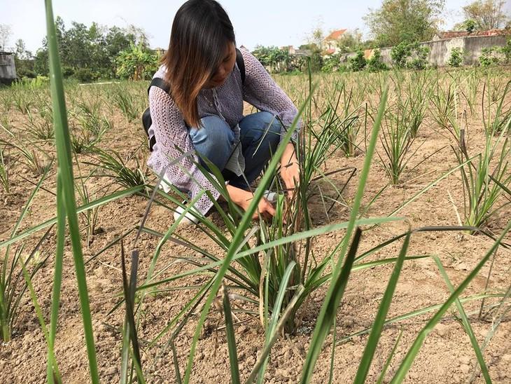 Nguyen Thi Hoai-Gadis muda dan perjalanan memproduksi hio aman dari rumput wangi Vetiver - ảnh 1