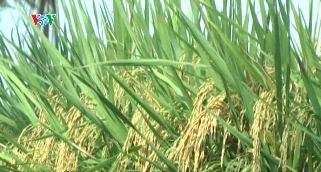 Singapur tiene muchas ventajas para la exportación del arroz vietnamita - ảnh 1