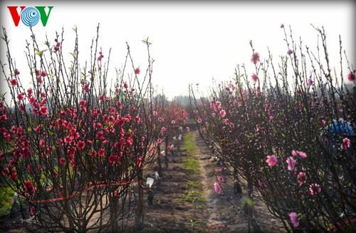 ハノイの桃の花 - ảnh 1