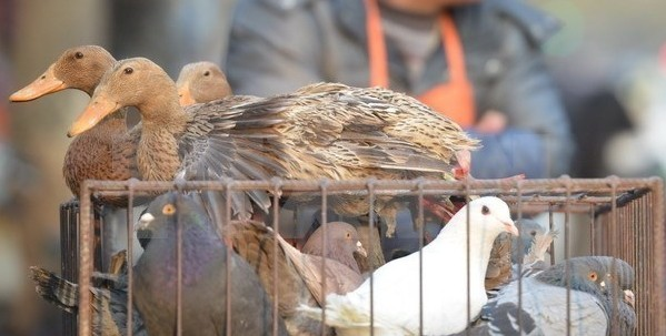 中国、型鳥インフルエンザ感染者をさらに確認 - ảnh 1