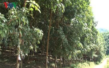 デェンビエン省ゴムの木育てによる貧困解消 - ảnh 1
