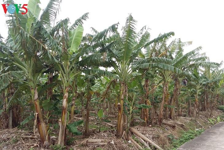 王様お気に入りのバナナ村の今 - ảnh 2
