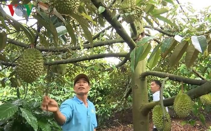 コーヒー畑に果樹栽培を行ったモデル - ảnh 2