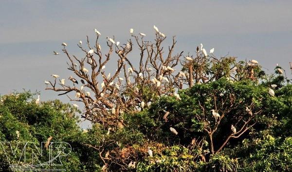 Pulau burung Bangau Chi Lang Nam-destinasi bagi para wisatawan - ảnh 1