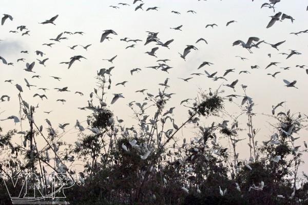 Pulau burung Bangau Chi Lang Nam-destinasi bagi para wisatawan - ảnh 3