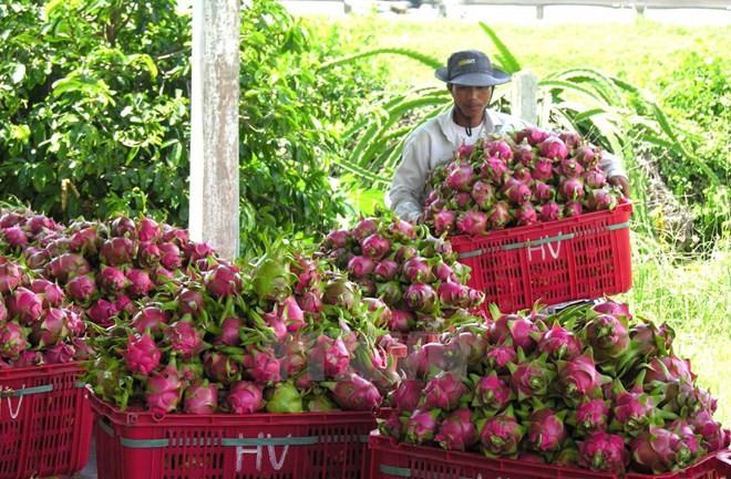 Vietnamese dragon fruit available on Australian shelves - ảnh 1