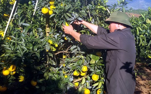 Farmers in Hoa Binh getting rich growing oranges  - ảnh 2