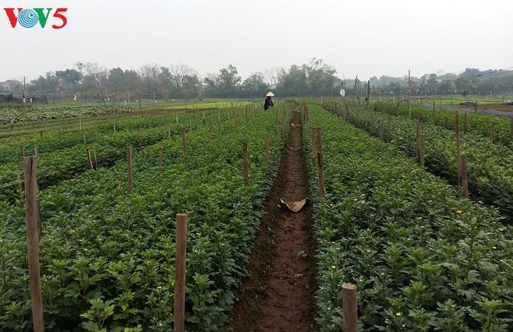 Phu Van village harvests flowers for Tet - ảnh 3