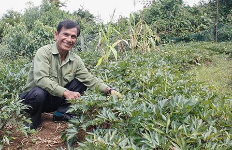 Kon Tum farmers begin medicinal plant crop   - ảnh 1