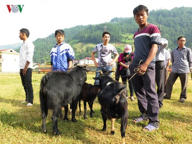 独特的穆庚寨传统斗山羊 - ảnh 1