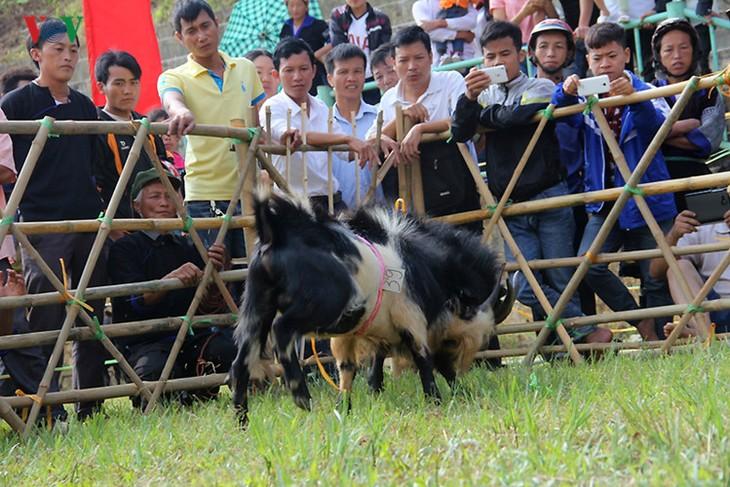 独特的穆庚寨传统斗山羊 - ảnh 7