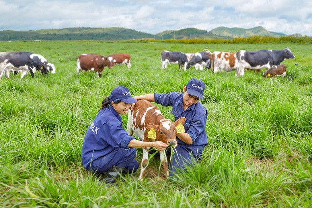 Vinamilk: fer de lance de l'industrie laitière vietnamienne - ảnh 1