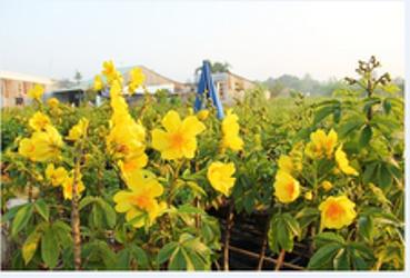 花を栽培する村・サデック村 - ảnh 2