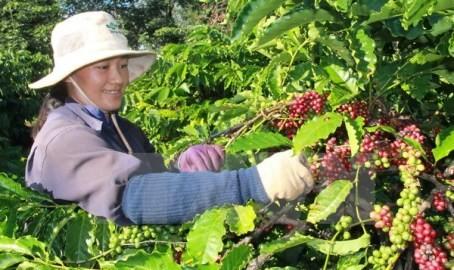 ブラジル、ベトナムのロブスター種 コーヒーを輸入 - ảnh 1
