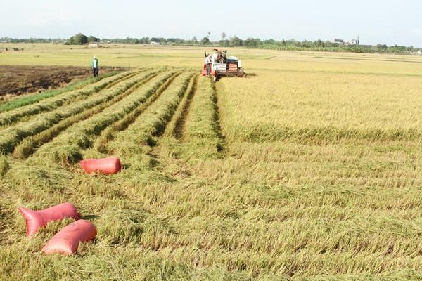 ニントゥアン省、大規模な田んぼづくりを進める - ảnh 1