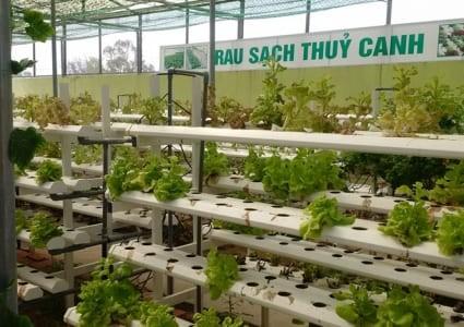 广南省维川县青年以高技术蔬菜种植模式创业 - ảnh 2