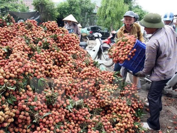 Vietnam wird im Mai ersten Container Litschi in die USA exportieren - ảnh 1