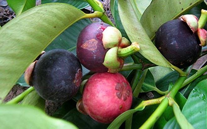 Bekannte Früchte in Obstgärten im Südwesten - ảnh 3