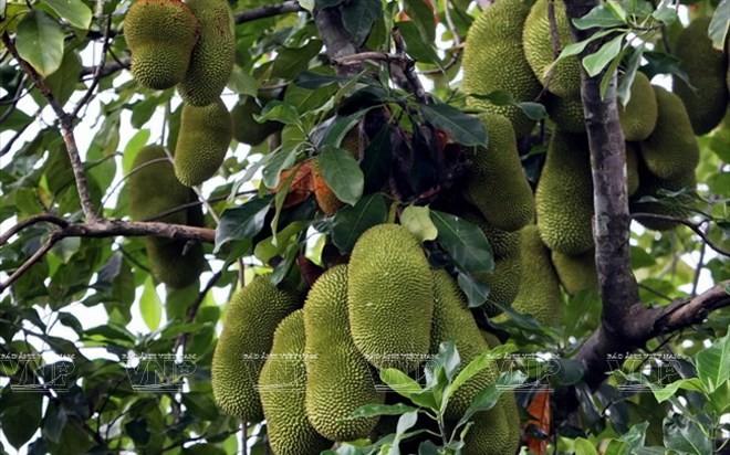 Bekannte Früchte in Obstgärten im Südwesten - ảnh 5