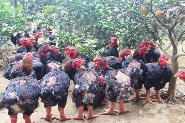 Dong-Tao-Hühner, leckeres Essen für Touristen - ảnh 1