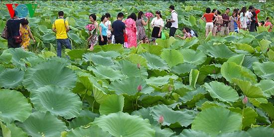 Lotus im Westsee am frühen Morgen - ảnh 4
