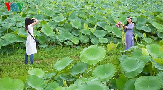 Lotus im Westsee am frühen Morgen - ảnh 7